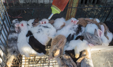 occurred: baby rabbit in urban fair of Thailand such as Loy Kra Thong fair occurred ten days in  twelfth lunar month, new year festival , anniversary established Stock Photo