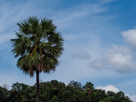 toddy palm: toddy palm tree and blue sky