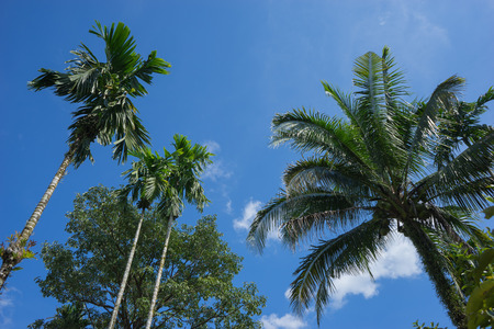 betel leaf: look up, betel palm and coconut tree and blue sky