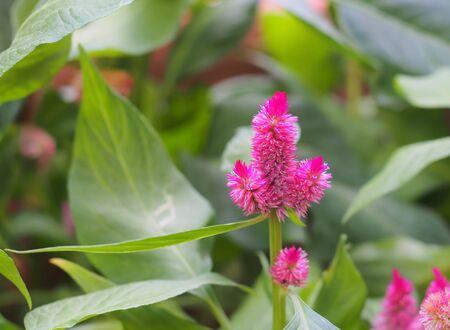 cockscomb: cockscomb pink flower in garden Stock Photo