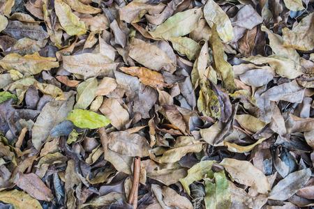 dry leaf: many dry leaf pile together