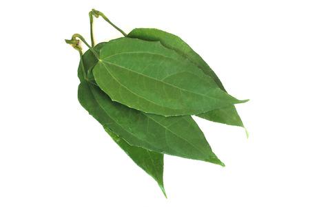 Thunbergia laurifolia