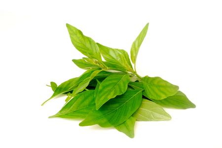 Nasutus Herbal extract. Rhinacanthus nasutus Kurz.Rhinacanthus. 스톡 콘텐츠