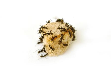 Ants eat sugar on white background.