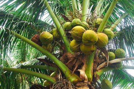 The coconut plantation is a career of farmers.