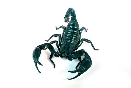A large black scorpion on a white background.