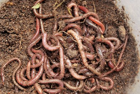 Earthworm fertilizer for agriculture to nourish the soil.