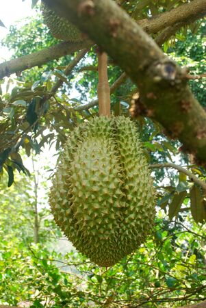 The cultivation of Mon Thong durian in tropical Thailand. 스톡 콘텐츠