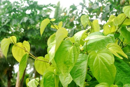 Tropical yellow betel leaves are planted in Thailand. Stockfoto