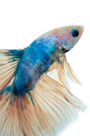 blue siamese: Beautiful blue siamese fighting fish with yellow tail ,on isolated white background.