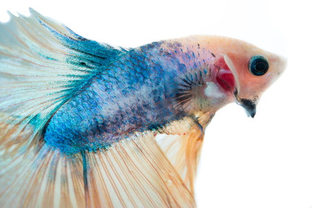 blue fish: Beautiful blue siamese fighting fish with yellow tail ,on isolated white background.