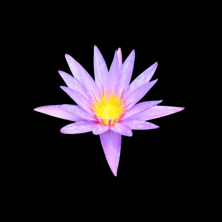 The pink lotus isolated on black photo