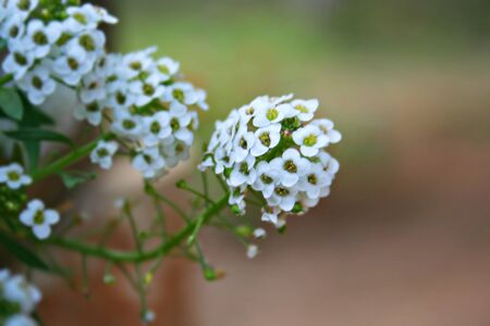 panicle: Individual white flowers forming the panicle