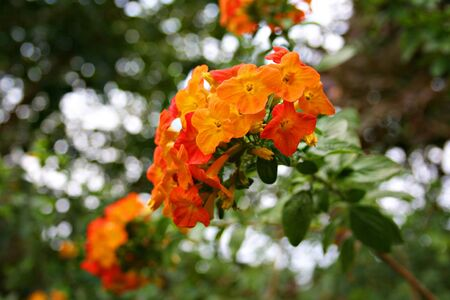 panicle: Colorful Thai panicle flowers