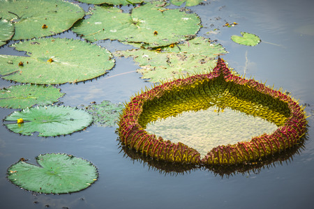 Giant, amazonian lily in water  photo
