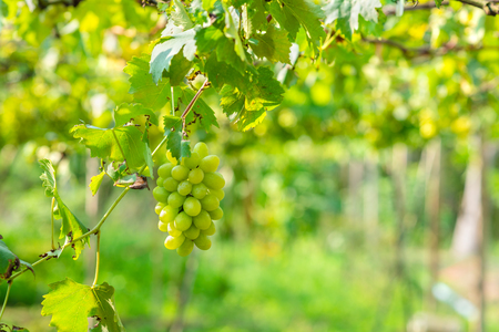 bunch of white grapes growing in vineyard Banque d'images - 122720232