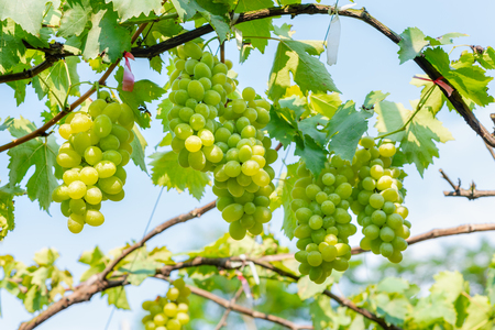 bunches of white grapes growing in vineyard Banque d'images - 122720235