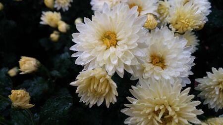 soaked: rain soaked white chrysanthemum