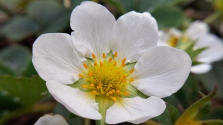 botanical farms: strawberry flower