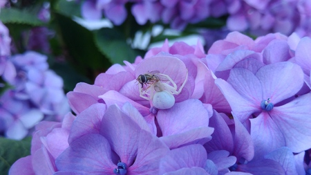 Crab Spider Eating Bee on white flower