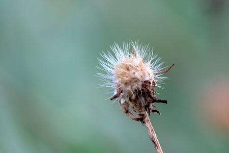 weaken: dry flower Stock Photo