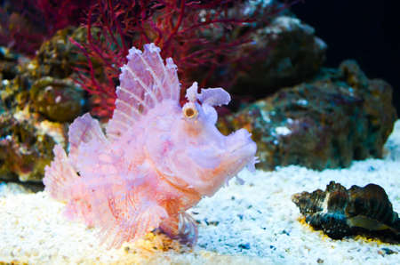A pink coral fish