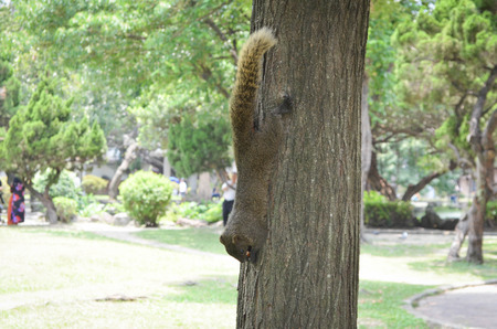 A brown squirrel on the tree in Taipei park. Stok Fotoğraf