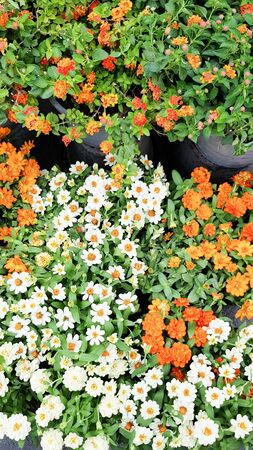 White and orange flowers in the garden.
