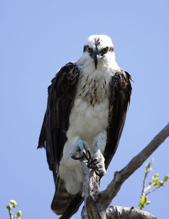 everglades national park: Osprey in Everglades National Park