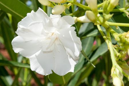 White oleander flower photo
