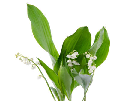 muguet: Lily of the valley, isolated on white