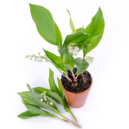 muguet: Lily of the valley in a pot, isolated on white