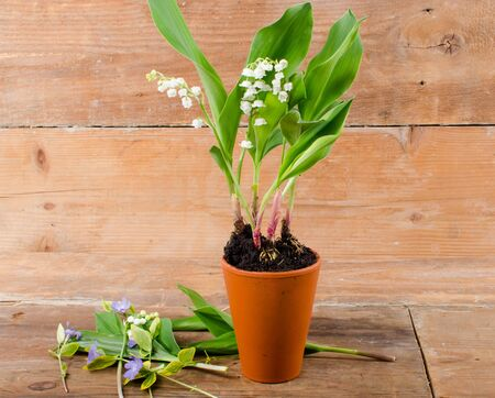 muguet: Lily of the valley on wooden background