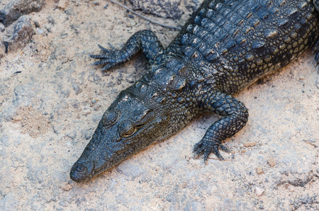resting: Crocodile resting on rock