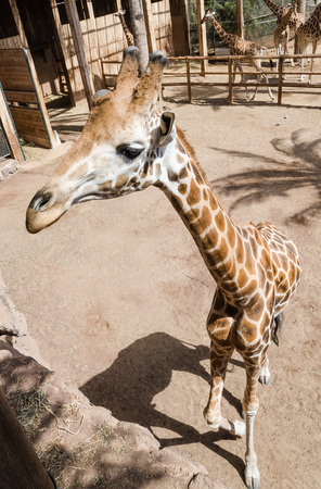 enclosure: Giraffe in an enclosure of zoo Stock Photo