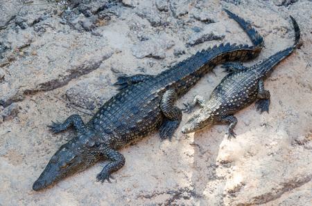 resting: Crocodiles resting on rock