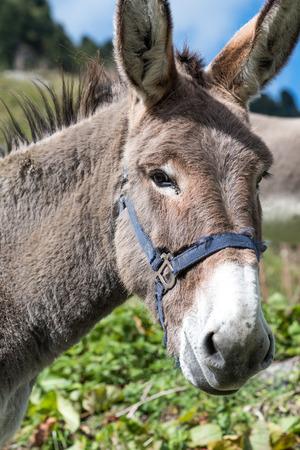 Portrait of a grey donkey
