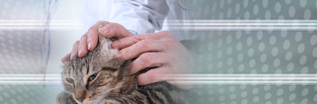 Veterinarian examining an ear of a cat at the clinic. panoramic banner