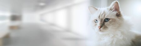 Portrait of beautiful sacred cat of burma with blue eyes; panoramic banner 스톡 콘텐츠
