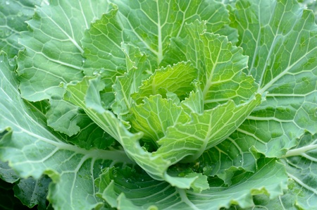 cabbage vegetable in field  photo