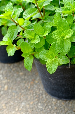 Close up of a green mint plant Stock Photo