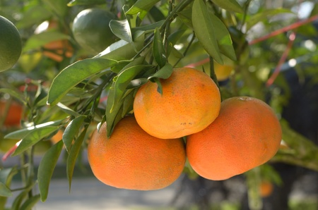Oranges on a tree Stock Photo - 12669194