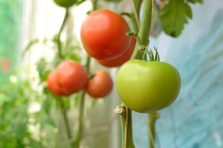 Fresh tomatoes Stock Photo - 12669196