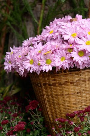 Chrysanthemum flowers in a basket Stock Photo