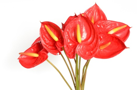 Red Anthurium flowers isolated on white background Stock Photo