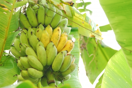 Cultivated bananas hanging on tree photo