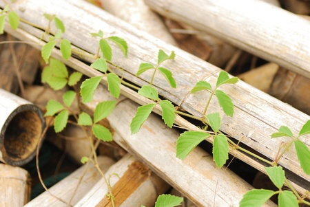 Vine on old bamboo wooden Stock Photo - 15170160