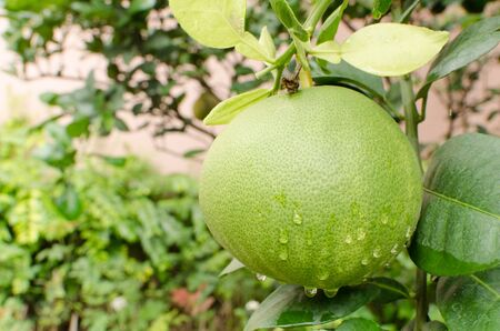 Pomelo fruit with drops of water in the tree Stock Photo - 15507205