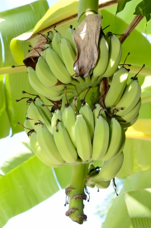Cultivated bananas hanging on tree Stock Photo - 15706130