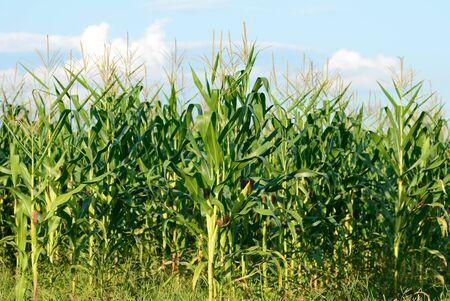 green cornfield of the Thailand Stock Photo - 16308942